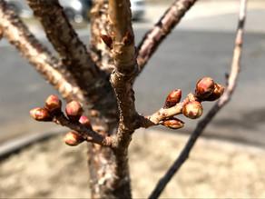 KIZUNA HOMEの桜がもう直ぐ咲きそうです