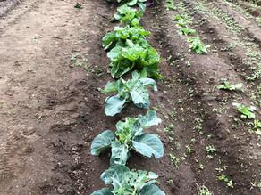 有機野菜の収穫に行ってきました