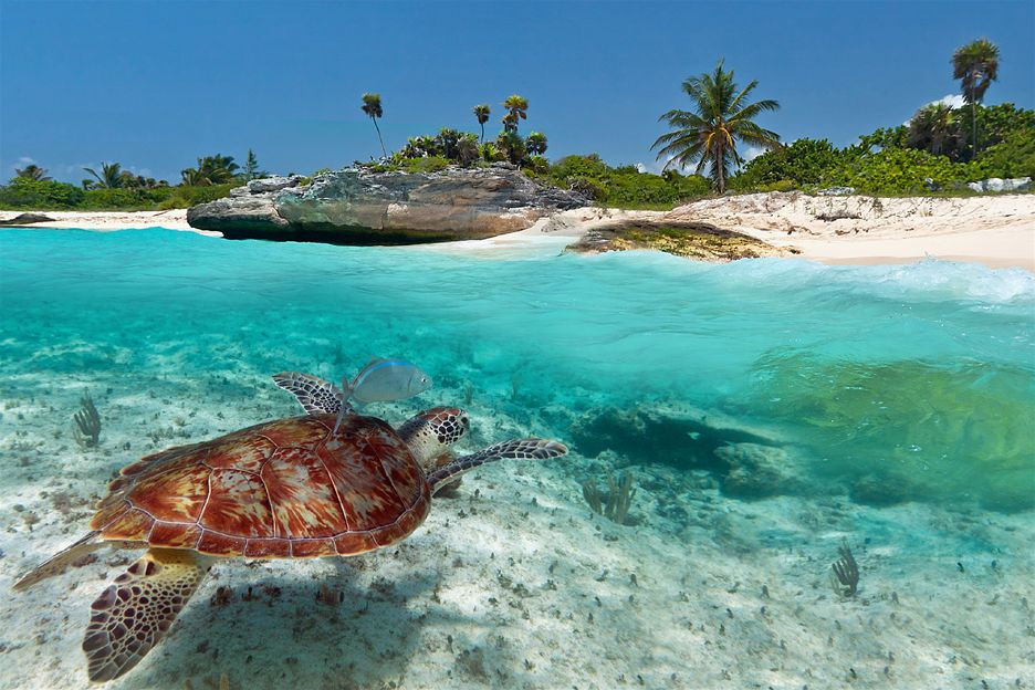 caribbean_turtle_in_sea home page.jpg