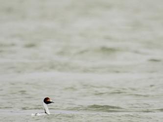 Macá Tobiano: los esfuerzos por su conservación en los estuarios santacruceños