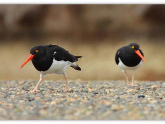 Trazan un Plan de Acción Nacional para la conservación de las aves playeras
