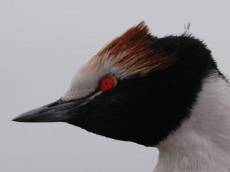 Proyecto Macá Tobiano: la necesaria continuidad en la investigación de la especie