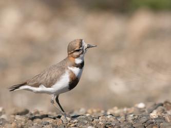 Las aves migratorias patagónicas que nos visitan