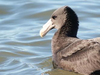 Especies de Petreles en el estuario del río Gallegos: el gigante del Sur