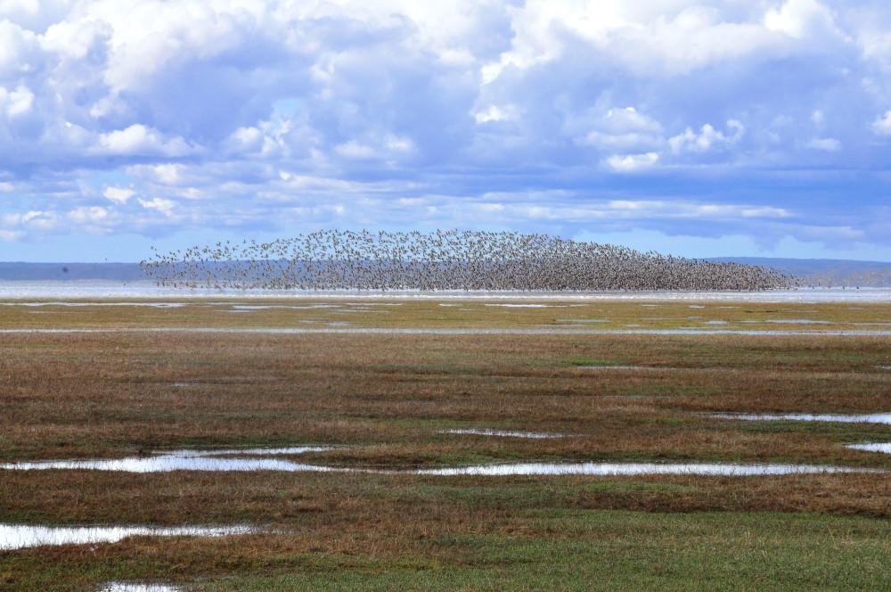Shorebirds at Bahia Lomas, Chile (photo: Luis Benegas)