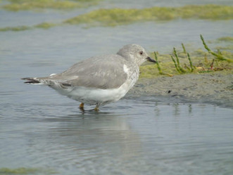 Chorlito Ceniciento: Un ave migratoria patagónica que pasa el invierno en el estuario
