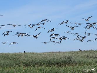 Ambiente Sur ejecuta proyecto para la conservación de aves playeras a escala hemisférica