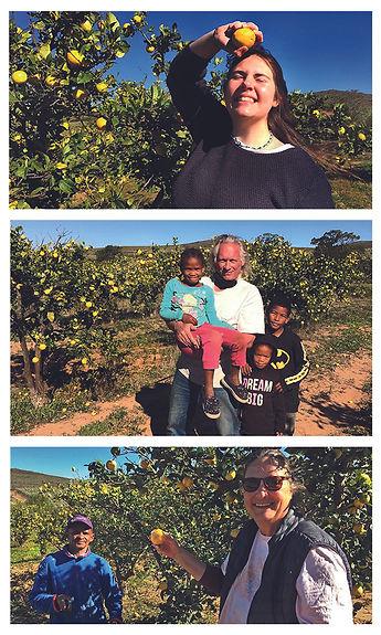 lemon picking.jpg