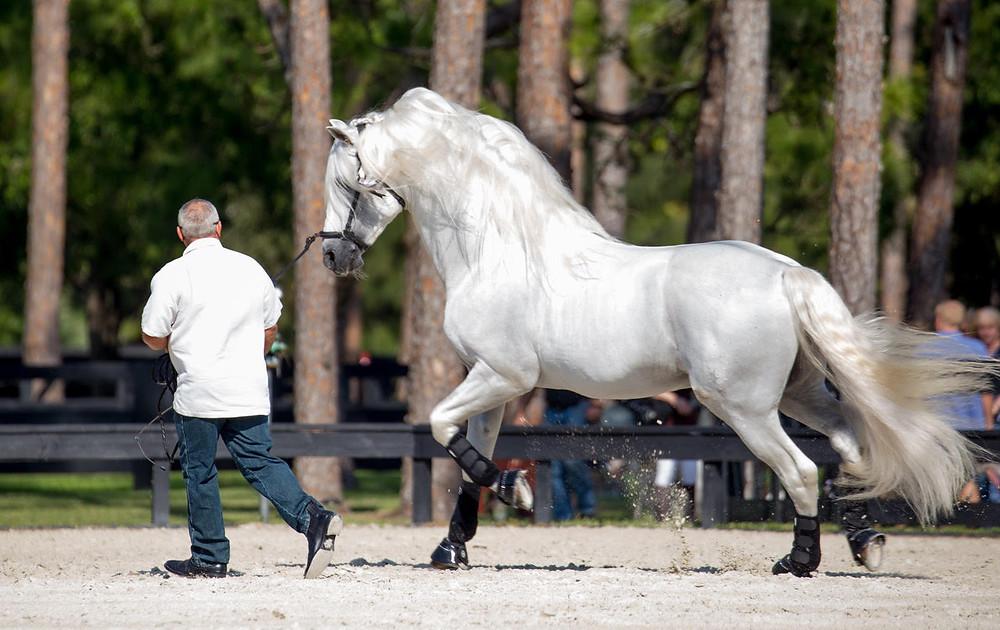 Jane Bistline's stallion, Encanto, with Tom Reed. Photo by Lily Forado