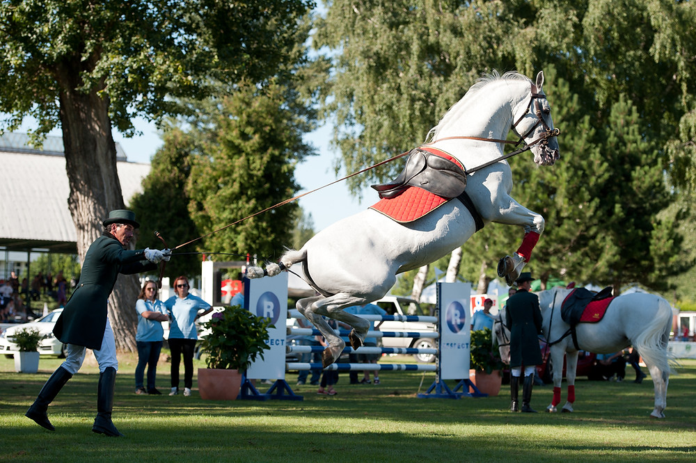 Lipizzaner performing Airs Above Ground
