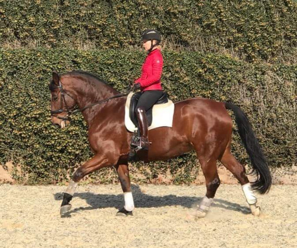 The Key Is Cross-Training: Vaulting Horses Find Success Through Upper Level Dressage