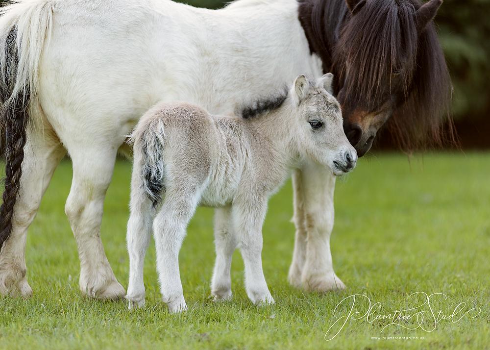 Blue (black) dun miniature shetland pony colt foal