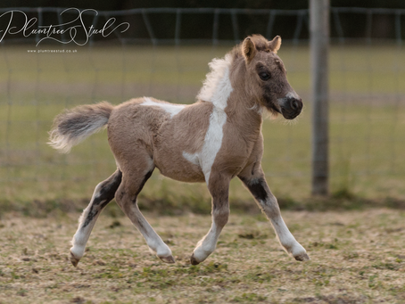 Our long awaited, first foal by Plumtree Sparrow Hawk has finally arrived!