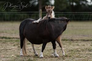 Blue dun and white miniature shetland pony colt foal