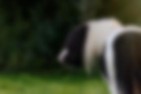 piebald tobiano homozygous miniature shetland pony stallion