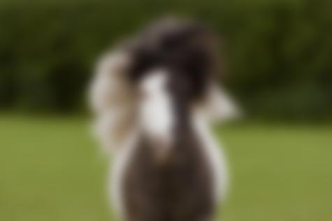 dun & white miniature shetland pony stallion