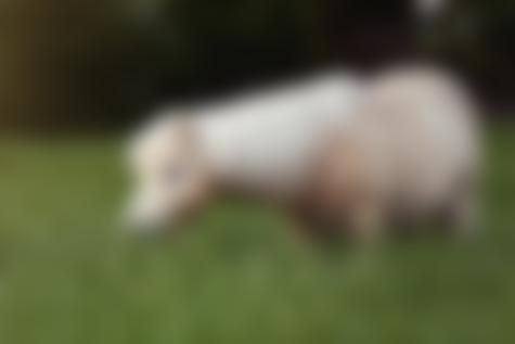 palomino dun miniature shetland pony stallion