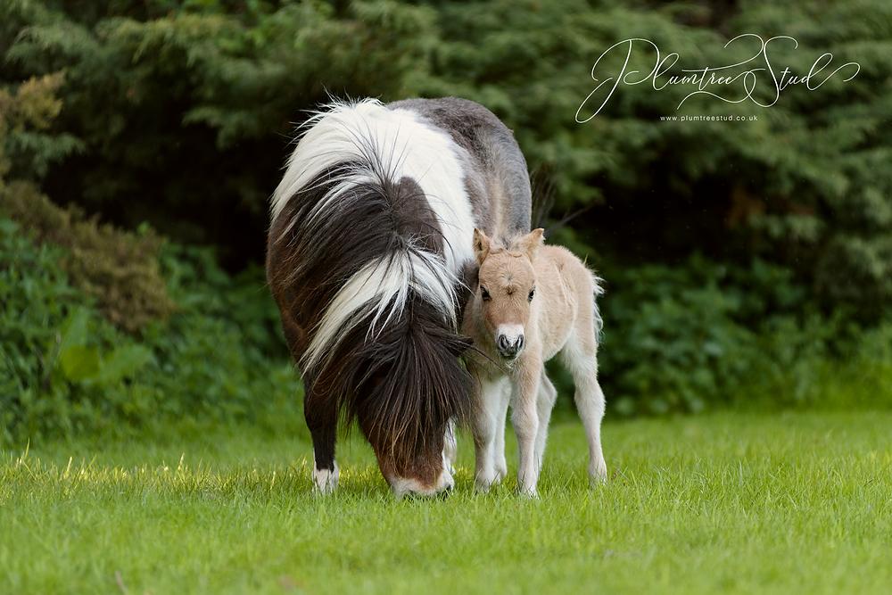 Golden Dun Miniature Shetland Colt Foal