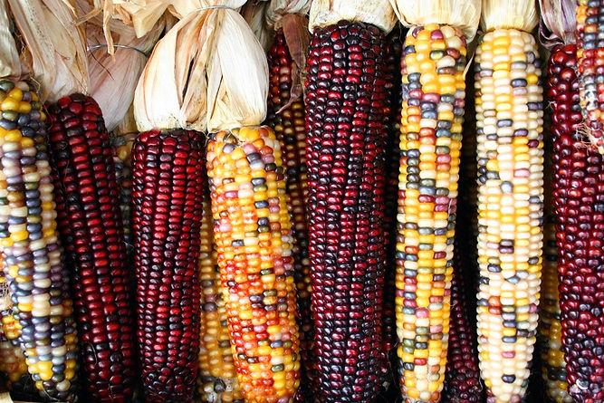maiz de colores
