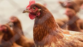 La Lonchera Sushi and Wok announces cage-free egg policy in Colombia