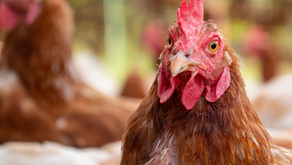 Owner of KFC, Pizza Hut, and Taco Bell joins the cage-free movement