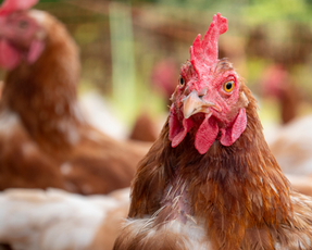 Dueña de KFC, Pizza Hut y Taco Bell anuncia compromiso global para huevos libres de jaulas