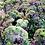 """Thumbnail: Grönkål """"Borecole Scarlet"""""""