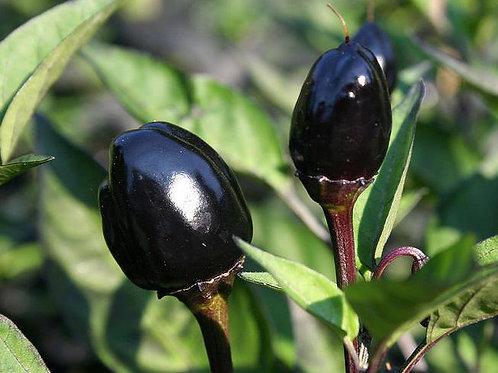 """Chili """"Black Olive"""""""