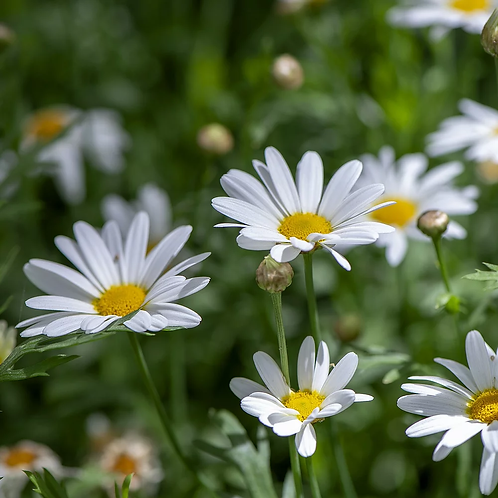 Prästkrage 'Ox Eye Daisy'