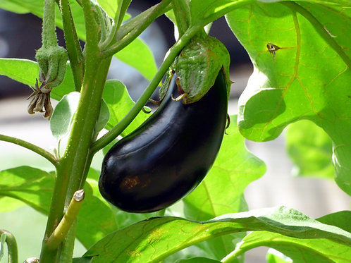 "Aubergine ""Black Beauty"""