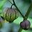 Thumbnail: Tomatillo 'Purple'