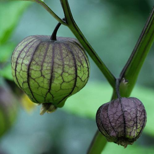 Tomatillo 'Purple'