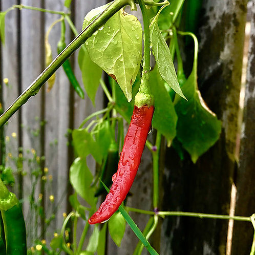 """Chili """"Cayenne Ring of Fire"""""""