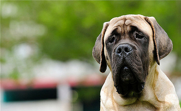 What Kind Of Mastiff Do I Have? A Quick Guide To Mastiffs