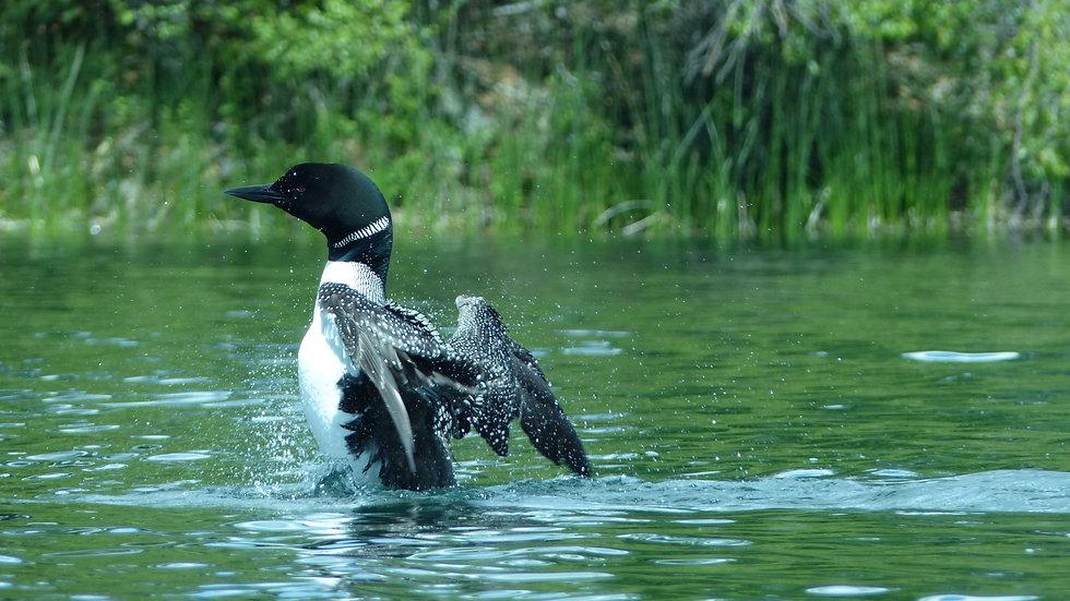 Greeny Lake, Common Loon Bobby Crane.jpg