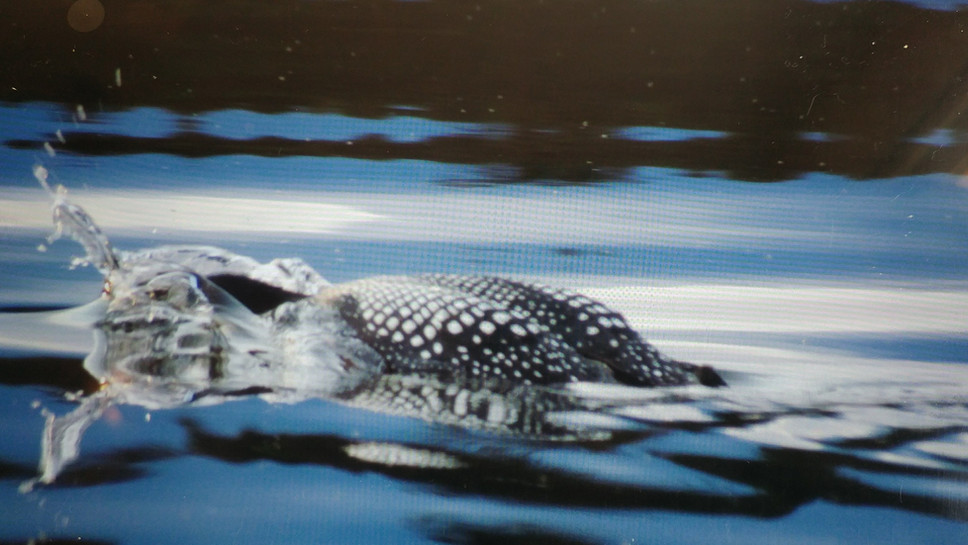Janet Lowry A loon diving in helena lake