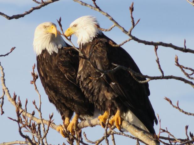 Kietaibl Gerlinde Eagles on my tree Eagl