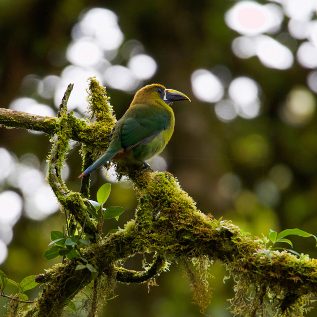 Northern Emerald Toucanet, Monteverde