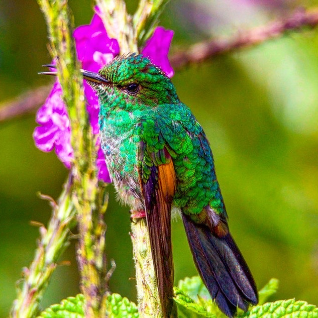 Coppery-headed Emerald, Monteverde