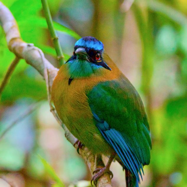 Lesson's Motmot, Monteverde