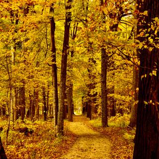 Golden Trail, Ryerson Conservation Area, Riverwoods, IL