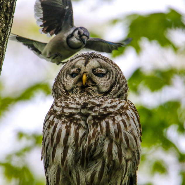 Barred Owl and Blue Jay