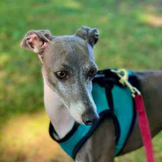 Fredo The Italian Greyhound