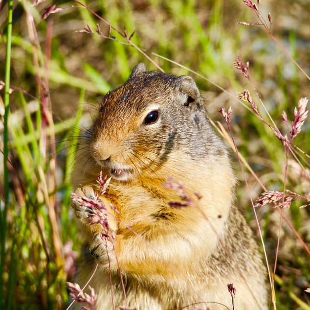 Columbia Ground Squirrel, Banff National Park