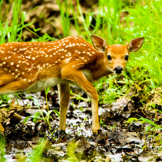 White-tailed Deer Fawn, Illinois