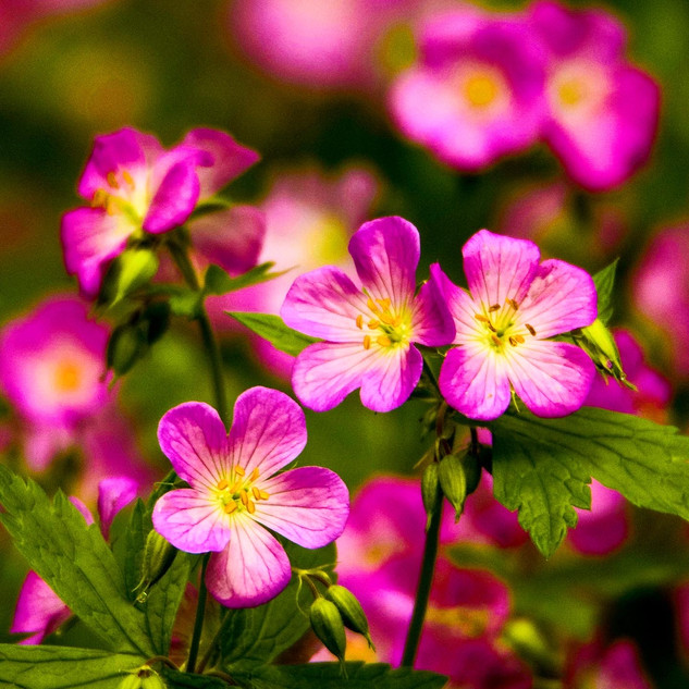 Spring Beauties, Illinois