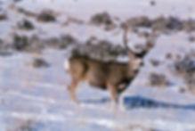 Mule-deer-buck.jpg