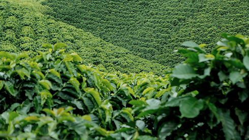 coffee%2520plantation%2520in%2520colombi