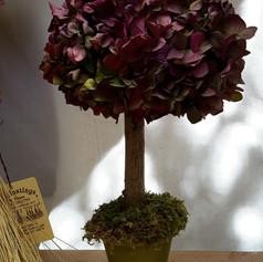 Hyddrangea Topiary