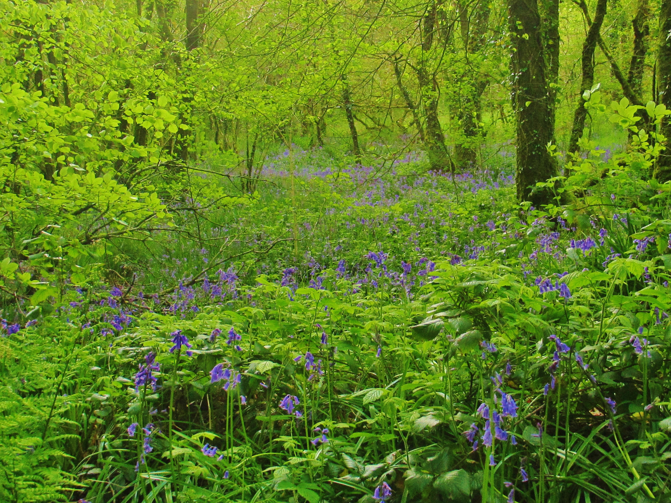 More Bluebells